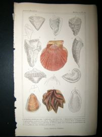 Cuvier C1835 Antique Hand Col Print. Shells #32